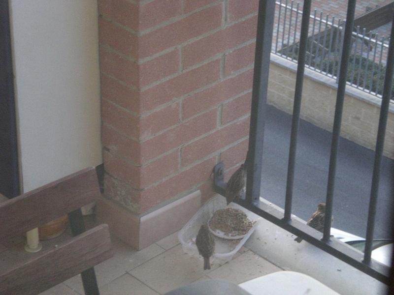 passeri bird balcony luby.jpg
