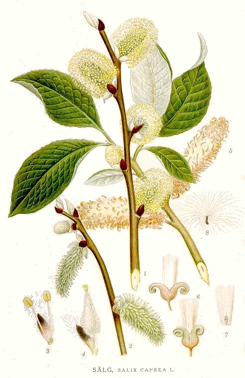 Salix caprea 02.jpg