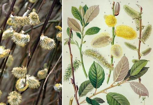 Salix Caprea 2.jpg