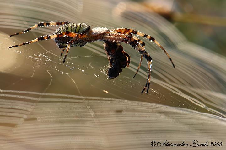 Ragno Vespa (Argiope bruennichi) 02.jpg