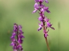 Orchis mascula - 06