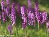 Orchis mascula - 07
