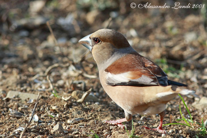Frosone ( Coccothraustes coccothraustes ) - 03.jpg