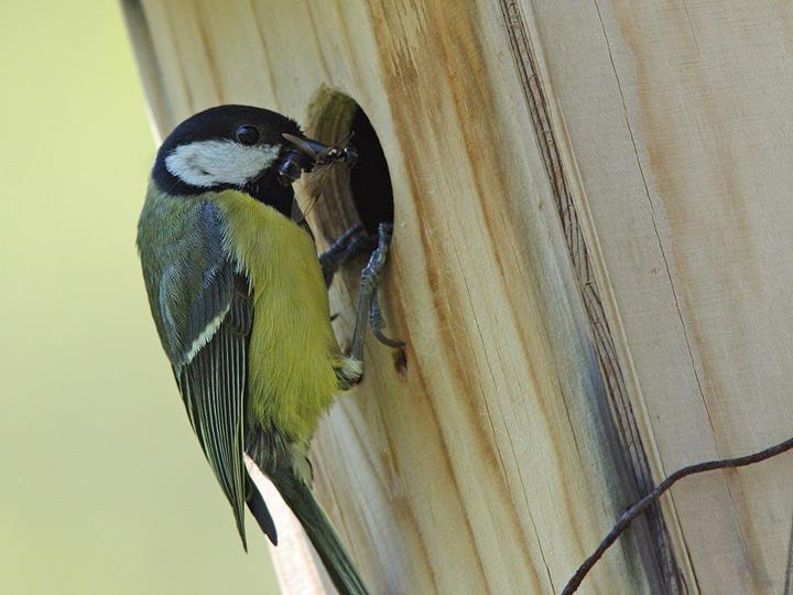 cinciallegra al nido 2.jpg