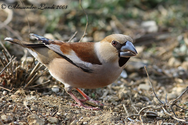 Frosone ( Coccothraustes coccothraustes ) - 02.jpg