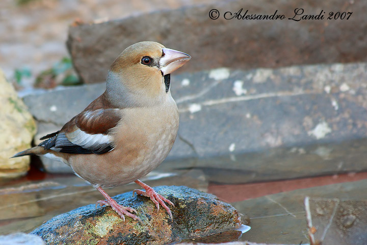 Frosone ( Coccothraustes coccothraustes ) - 01.jpg