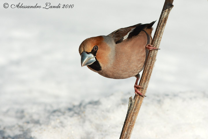 Frosone ( Coccothraustes coccothraustes ) - 07.jpg