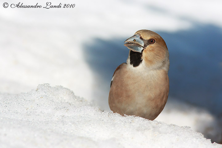 Frosone  ( Coccothraustes coccothraustes ) - 08.jpg