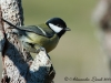 Cinciallegra Parus major