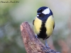 Cinciallegra ( Parus major ) - 05