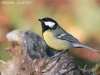 Cinciallegra ( Parus major ) - 06