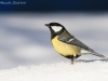 Cinciallegra ( Parus major ) - 07