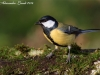 Cinciallegra ( Parus major ) - 08