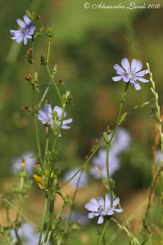 fiori-cicoria.jpg