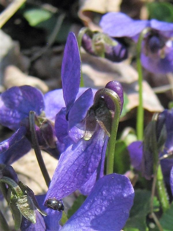 Violette 2.jpg