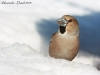 Frosone  Coccothraustes coccothraustes