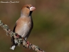 Frosone ( Coccothraustes coccothraustes ) - 10